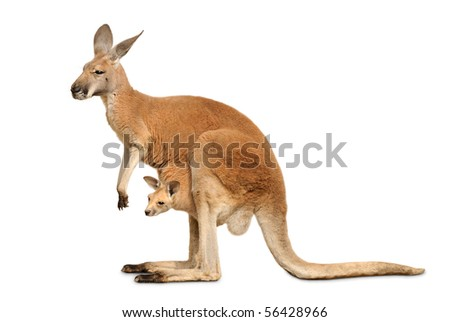 Red kangaroo carrying a cute Joey, isolated on clean white - stock photo