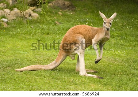 Red Kangaroo, Macropus rufus - stock photo