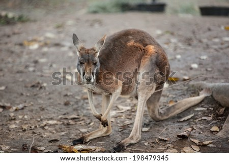 Red kangaroo portrait - stock photo