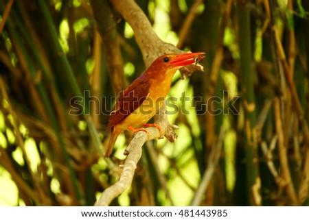 Red Kingfisher, Male Ruddy Kingfisher (Halcyon coromanda) on branch
