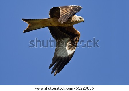 Red Kite Eagle in blue sky - stock photo