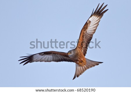 Red Kite Eagle in blue sky - direct frontal - stock photo