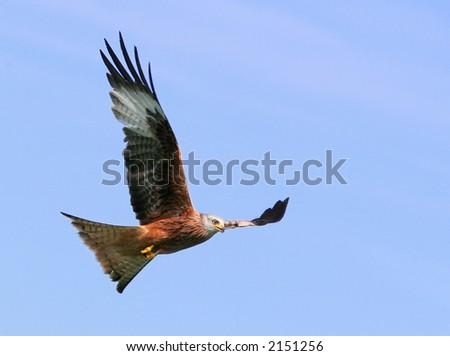 Red Kite Eagle in flight. - stock photo