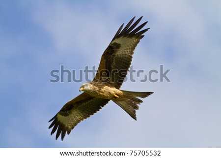 Red kite flying in Wales - stock photo