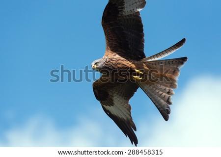 Red Kite flying through blue sky/Red Kite/Red Kite (Milvus Milvus) - stock photo