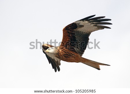 Red Kite in flight above the hills of Dumfrieshire,Scotland