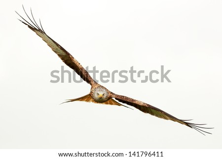 Red Kite in flight above the hills of Laurieston in Dumfrieshire, Scotland.