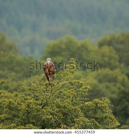 Red Kite iperched at the top of a tree - stock photo