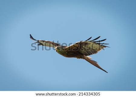 Red Kite, Milvus milvus in flight over southern england - stock photo