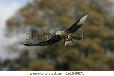 Red kite, Milvus milvus, single bird in flight, Wales, UK