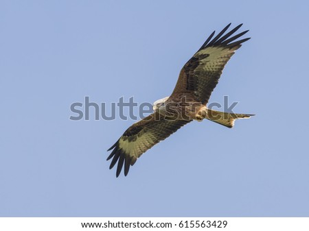 Red Kite,Milvus milvus,soaring in the skys over Wales on a spring morning
