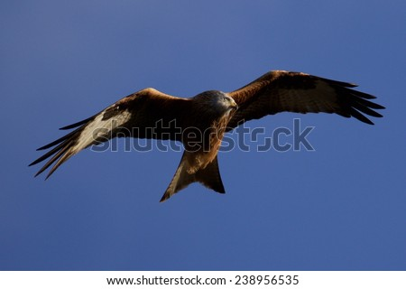Red Kite over Oxfordshire, UK