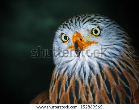 Red Kite Portrait (Milvus milvus)