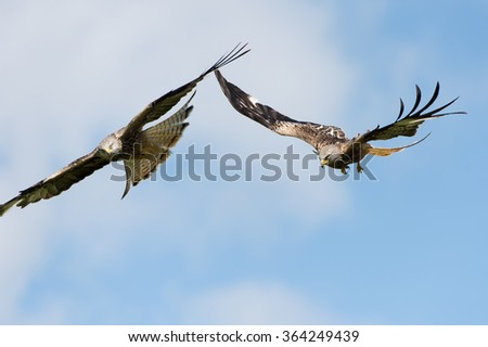 Red Kites flying through blue summer sky/Red Kite/Red Kite (Milvus Milvus)