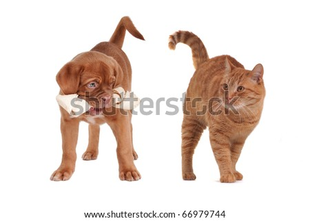 Red kitten and Dogue De Bordeaux Puppy competing for tasty bone