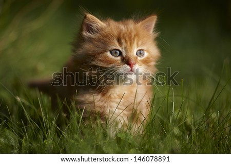 Red kitten - evening walk - stock photo