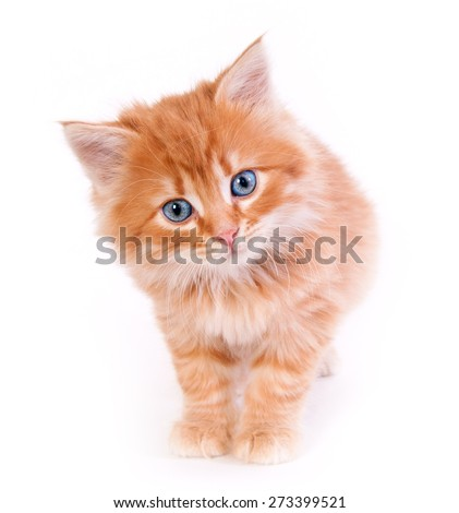 Red kitten isolated on a white background
