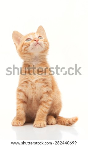 Red kitten looking up isolated on white background
