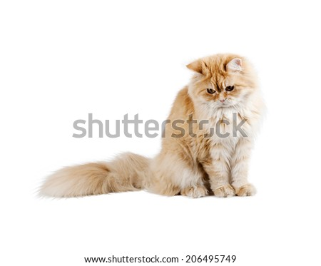 red kitten sitting, looking down on the white background - stock photo