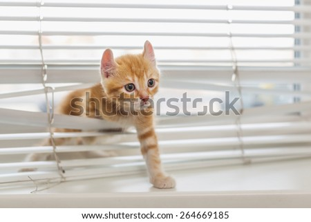 Red kitten tangled in window blinds - stock photo