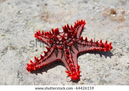 Red knobbed starfish close up - stock photo