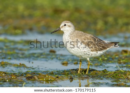 Red Knot (Calidris canutus) was act in nature of Thailand