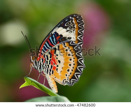 Red Lacewing Butterfly - stock photo