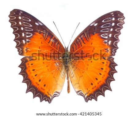 Red Lacewing butterfly isolated on white background