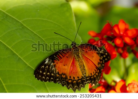 Red lacewing butterfly sitting on green leaf in morning sunlight