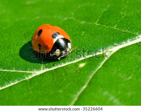 Red ladybird on green leaf background.