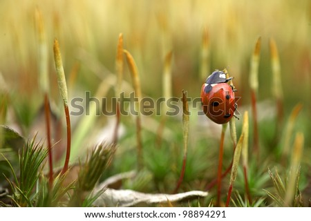 red ladybird on spring moss - stock photo