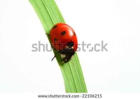 red ladybug - stock photo