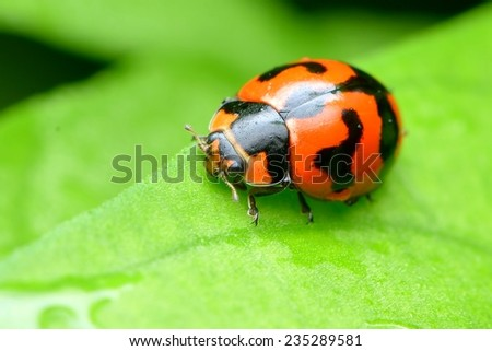 red ladybug on a green leaf - stock photo