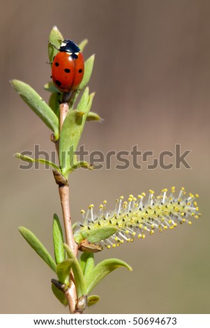 Red ladybug on bud pussy-willow in early spring - stock photo
