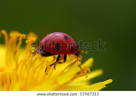 red ladybug on yellow dandelion