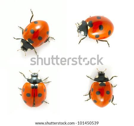 red ladybugs isolated on the white - stock photo