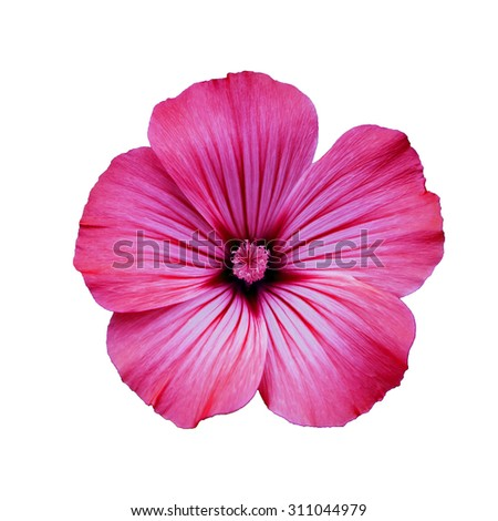 Red  lavatera  flower,  white  isolated background,  closeup, macro