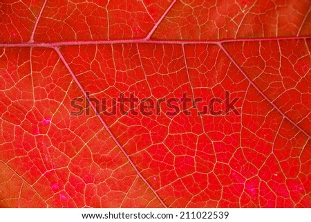Red leaf background texture, macro - stock photo