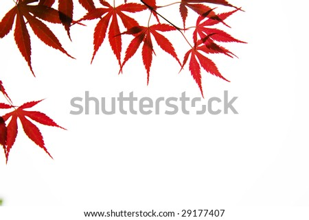 Red leaf shined by sunlight. - stock photo