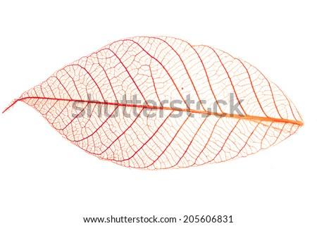 Red leaf skeleton background - stock photo