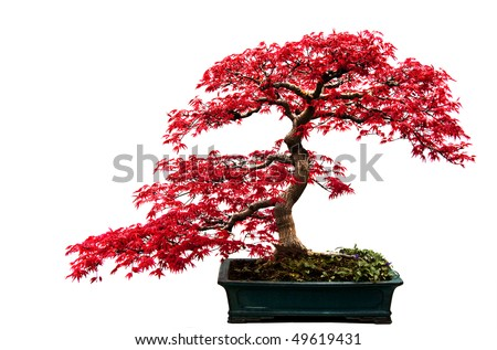 Red-leafed bonsai tree isolated on a white background. - stock photo