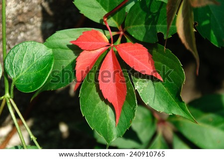 red leaves and green leaves  - stock photo