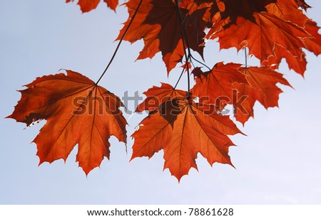 Red leaves of a tree of the Canadian maple - stock photo
