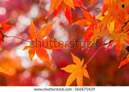 Red leaves of Japanese maypole tree