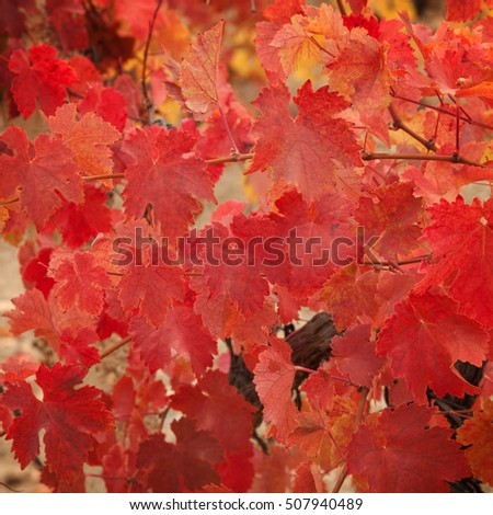 Red leaves of the vineyard. Can be used as background