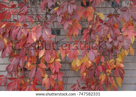red leaves of wild grapes on wall background