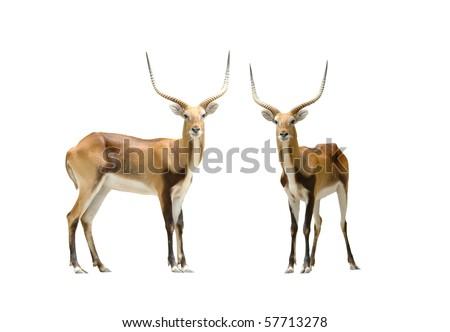 red lechwe - stock photo