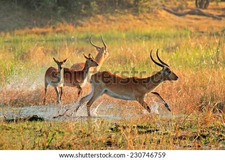 Red lechwe antelopes (Kobus leche) running through water, Kwando river, Namibia - stock photo