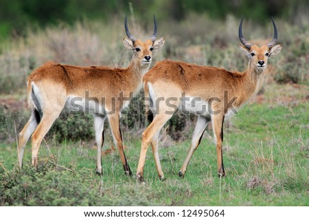 Red lechwe antelopes (Kobus leche), southern Africa