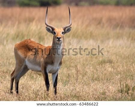 Red Lechwe in Moremi Game Reserve, Botswana - stock photo